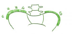 Classificazione di Risser sulle creste iliache